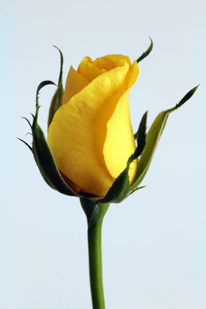 kuvassa ruusu